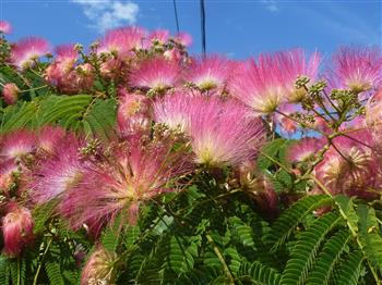 Arbres acacia de constantinople arbre de soie ombrella for Acacia de constantinople prix