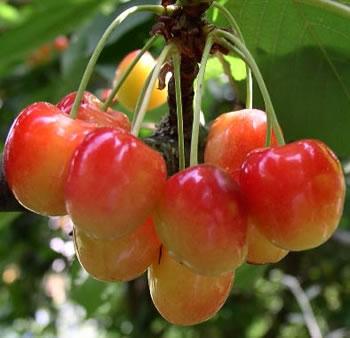 Cerisier bigarreau napoléon - fuseaux