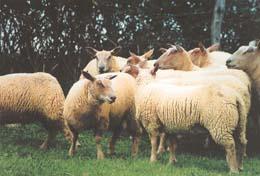 mouton charollais race de viande. Black Bedroom Furniture Sets. Home Design Ideas