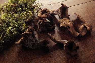 Champignons des bois - trompette des morts