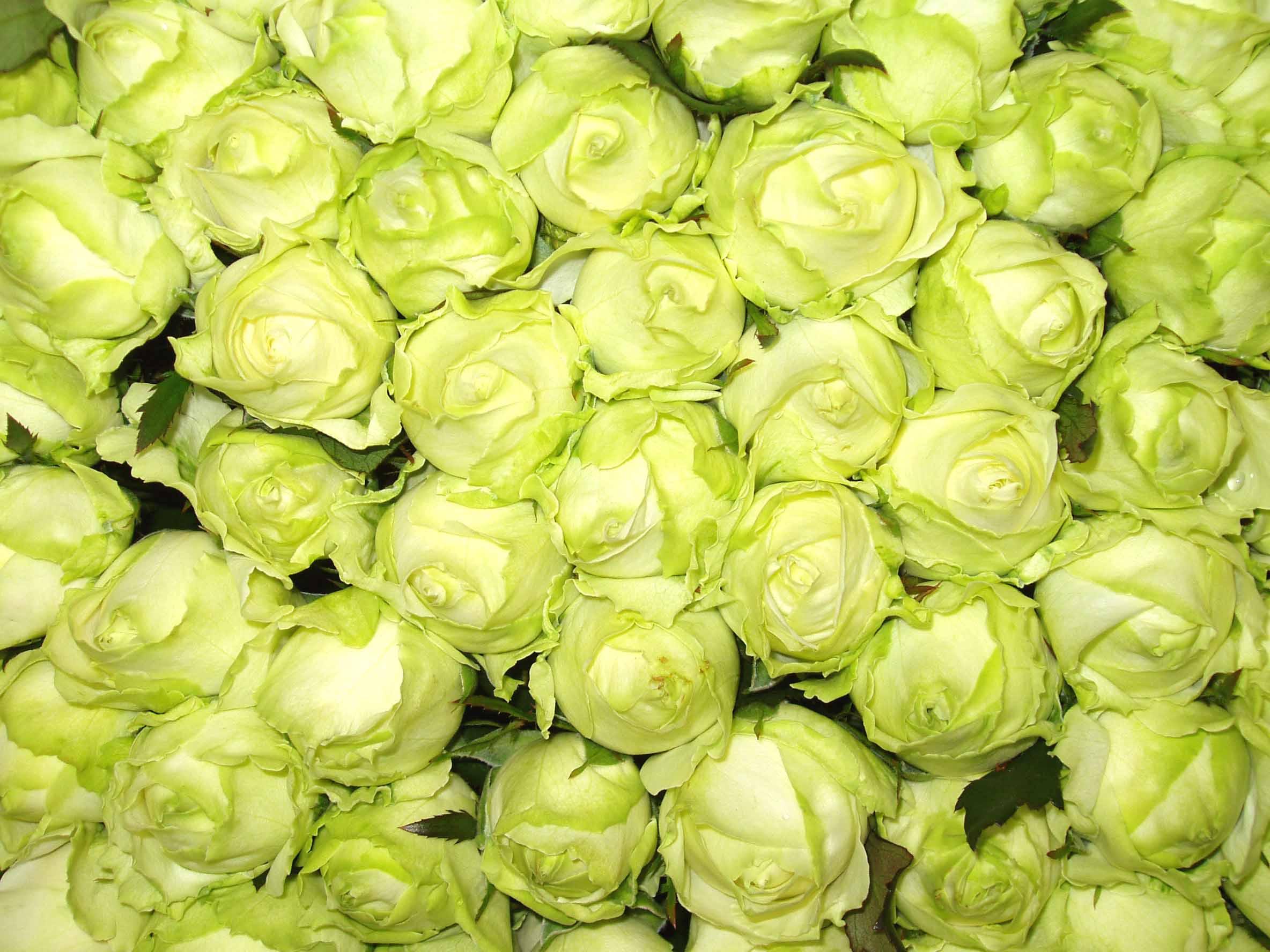 Fleurs coupées: rose