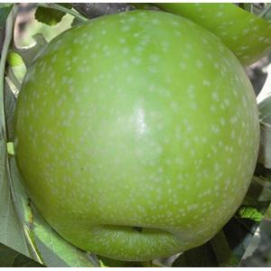 Pommiers - granny smith challenger dalivair