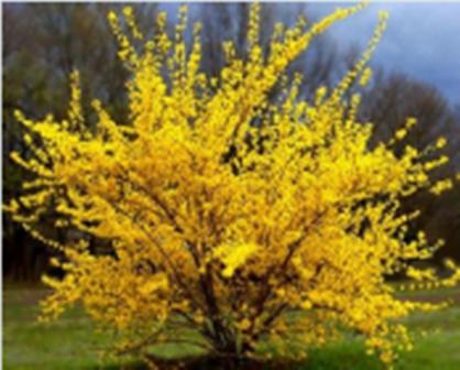 Arbuste haut caduc forsythia spring glory, lynwood