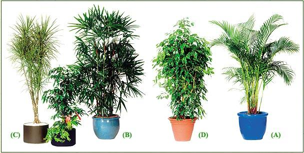 Photos arbuste page 1 for Ficus benjamina exterieur
