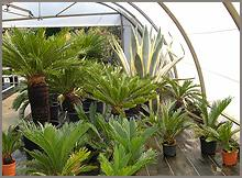 plante cycas revoluta. Black Bedroom Furniture Sets. Home Design Ideas