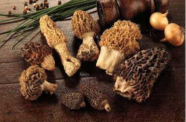 Champignons des bois - morille