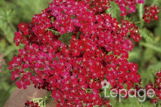 Lepage emmanuel ets sas produits plantes a fleurs for Plante exterieur fleur rouge