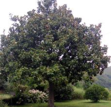 Arbres persistants magnolia gr. nantais ou purpan