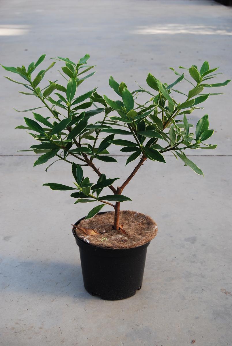 Rogalski pepinieres produits arbuste for Arbuste daphne odora aureomarginata