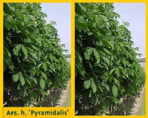arbre marronnier d 39 inde pyramidal aesculus ref aeshipp. Black Bedroom Furniture Sets. Home Design Ideas