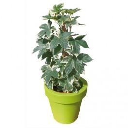Plante verte pour l 39 int rieur tous les fournisseurs de for Plante 70 cm
