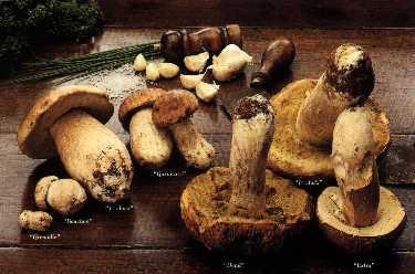 Champignons des bois - cepe