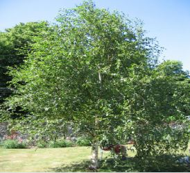 Arbres caducs betula verrucosa