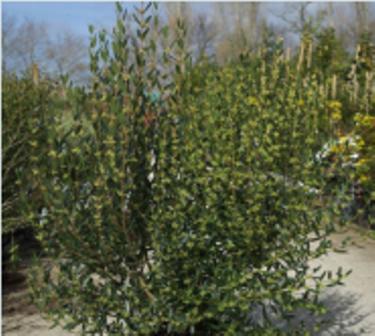 arbuste haut persistant phillyrea angustifolia rosmarinifolia. Black Bedroom Furniture Sets. Home Design Ideas