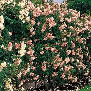 Des boutures de rosier blanc rose pal rose vif ou rosier parfum confiture ebay - Rosier en pot soleil ...