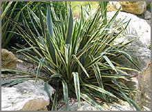 Plantes les fournisseurs grossistes et fabricants sur for Plante yucca chat