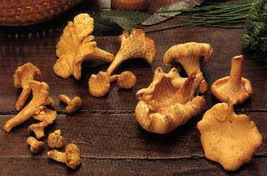 Champignons des bois - girolle