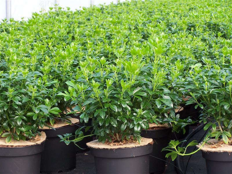 Arbuste tous les fournisseurs bonsais d 39 exterieur s d 39 interieur jeune plant pepiniere - Oranger du mexique feuilles jaunes ...