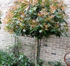 Arbres persistants photinia red robin