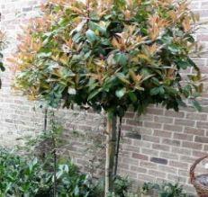 arbres persistants photinia red robin. Black Bedroom Furniture Sets. Home Design Ideas