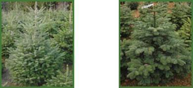 arbuste tous les fournisseurs bonsais d 39 exterieur s d 39 interieur jeune plant pepiniere. Black Bedroom Furniture Sets. Home Design Ideas