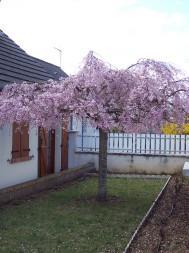 P pini res bauchery produits arbres fruitiers - Arbres d ornement a feuillage persistant ...