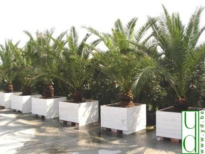 plantes phoenix canariensis ht 300. Black Bedroom Furniture Sets. Home Design Ideas