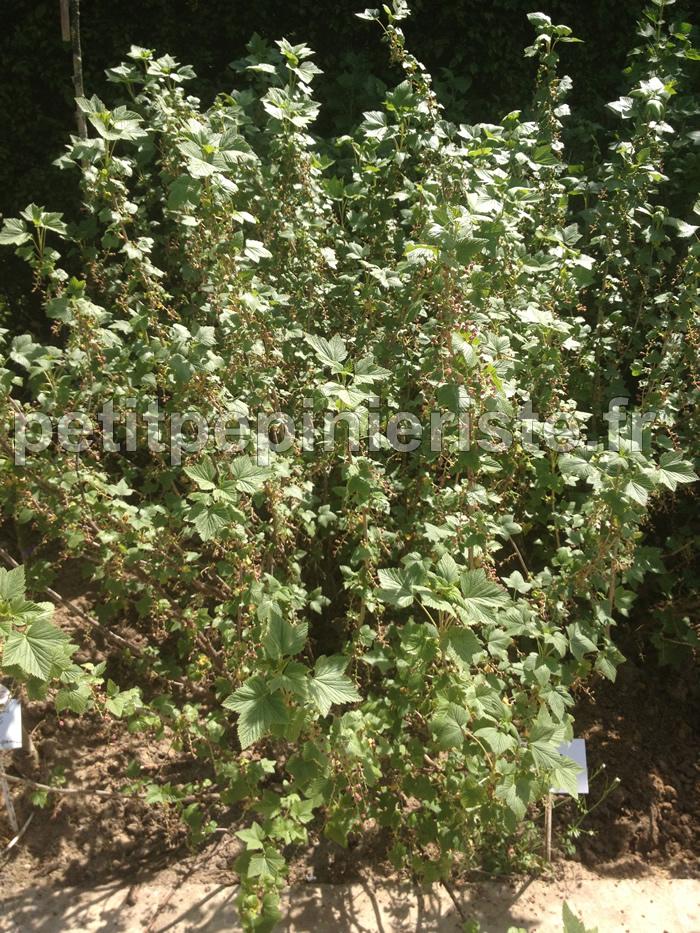 Arbuste Fruitier Cassissier Les Vegetaux De Picardie Hellopro