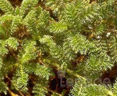 Plante vivace acaena potentillina for Plante tapissante vivace