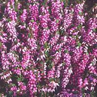 plantes vivaces - bruyeres - erica darleyensis fursey fleur rose lilas