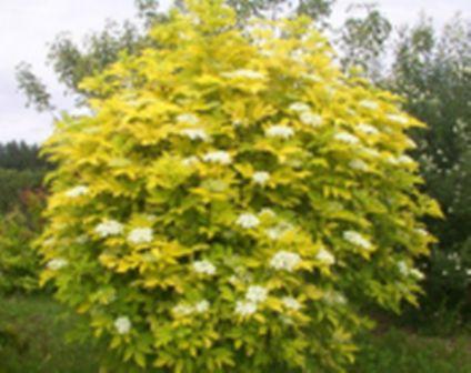 Arbuste haut caduc sambuscus nigra, laciniata, gunchio purple