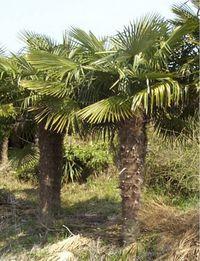 palmier trachycarpus fortunei. Black Bedroom Furniture Sets. Home Design Ideas