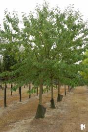 Cerisier bigarreau 'reverchon'