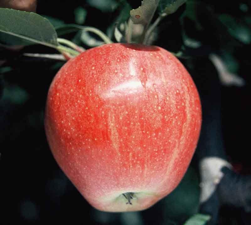 Pommes - galaxy cov