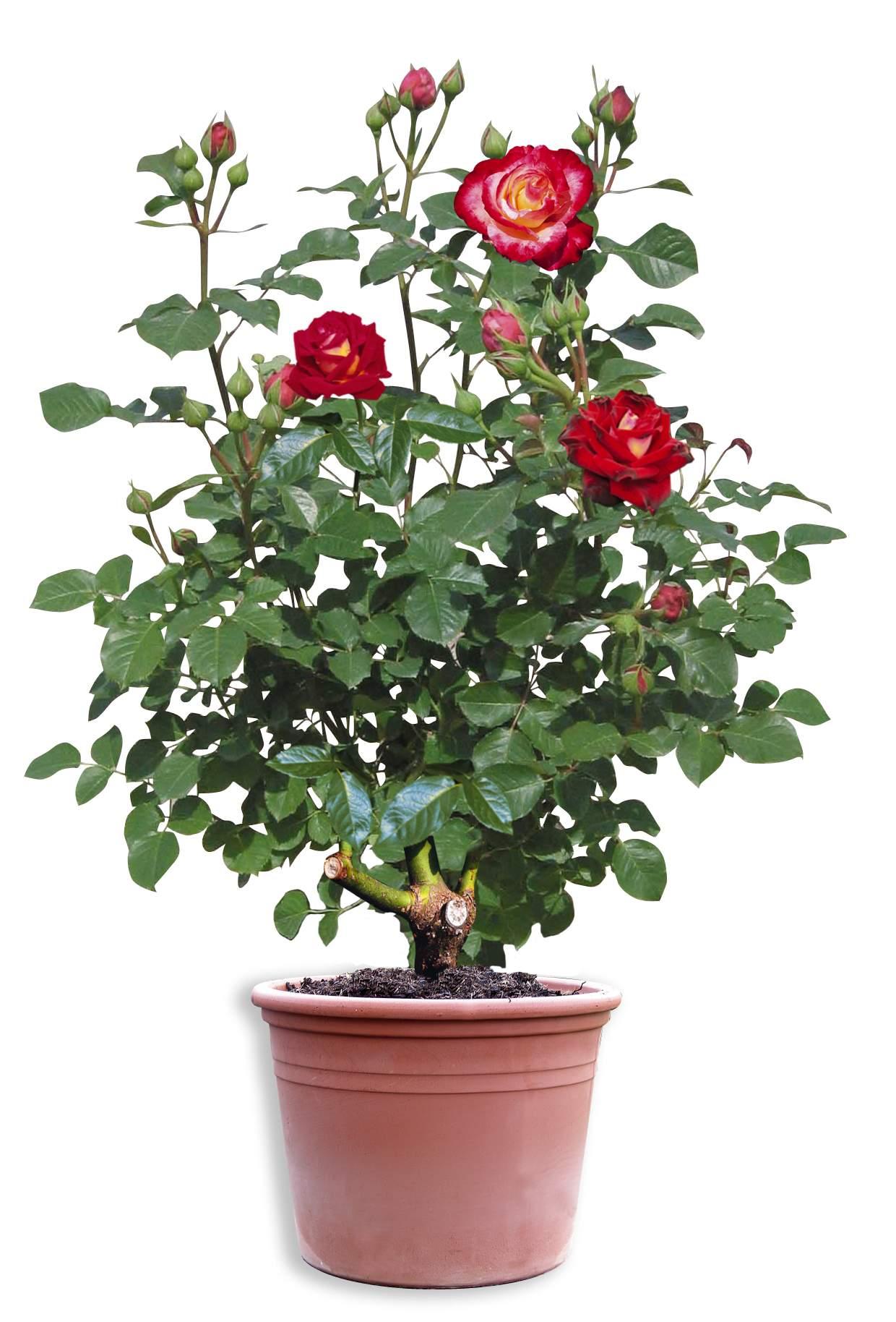 Rosiers tous les fournisseurs rose eglantier reine - Rosier en pot ...