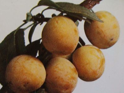 Pepinieres marnaysiennes produits arbres fruitiers - Prunier mirabelle de nancy ...