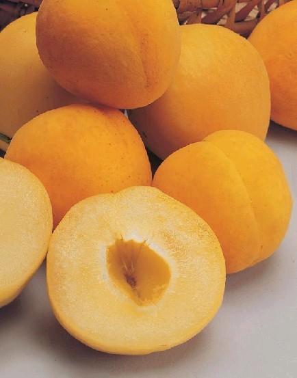 Prunus armeniana 'polonais'