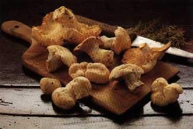 Champignons des bois - pied de mouton