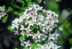 Arbuste daphne odora 39 aureomarginata 39 for Arbuste daphne odora aureomarginata