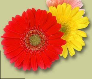 plantes a fleurs tous les fournisseurs plant d ornement plant herbe plante a fleur. Black Bedroom Furniture Sets. Home Design Ideas