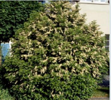 arbuste haut persistant prunus lusitanica angustifolia. Black Bedroom Furniture Sets. Home Design Ideas