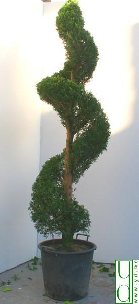 Conifere torsadé