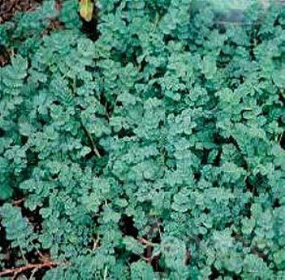 Plante vivace acaena blue haze for Plante verte vivace