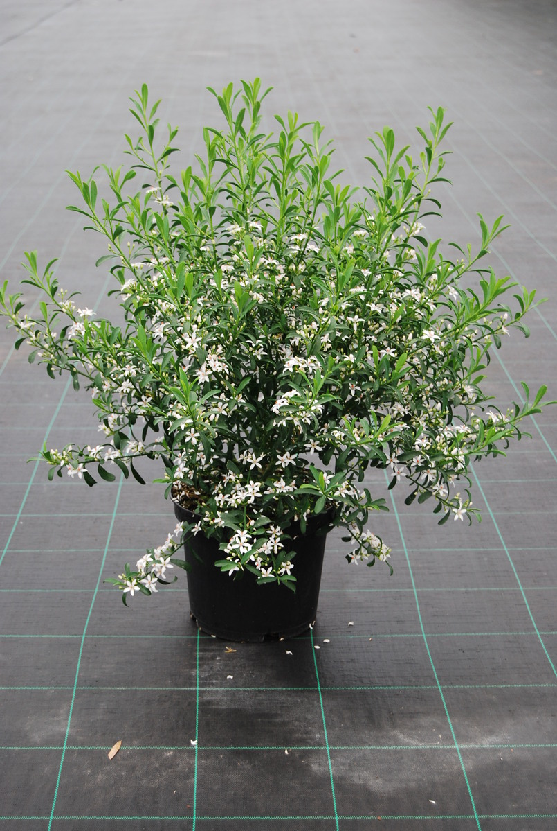 arbuste - tous les fournisseurs - bonsais d'exterieur - s d