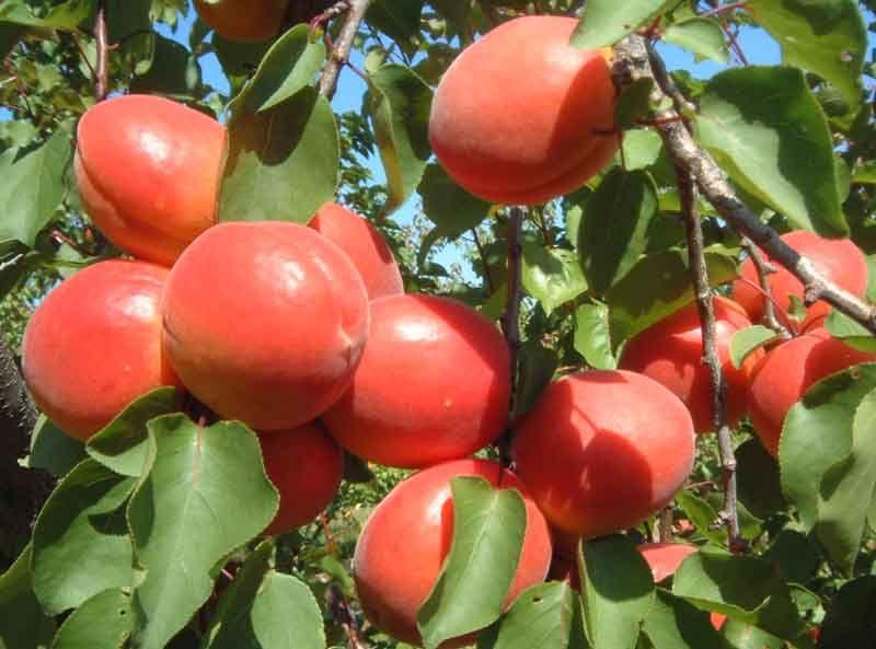 Abricots - harostar cov