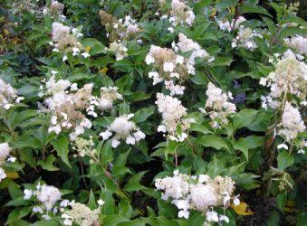 Production d'arbustes à fleur