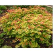 Arbuste haut caduc sorbaria sorbifolia sem