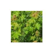 Acer saccharinum 'pyramidalis '