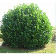 Arbuste haut persistant prunus laurocerasus caucasica