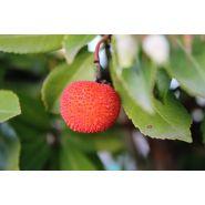 Arbousier arbustus unedo